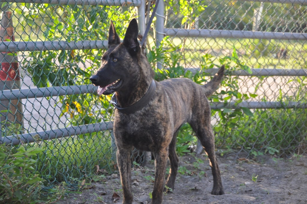 Belgian Malinois Puppies K 9 For Sale | Dog Breeds Picture