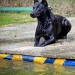 Black Belgian Malinois