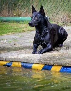 Black Belgian Malinois