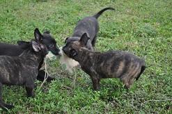belgian malinois pups personal protection