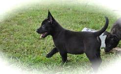 belgian malinois pups breeder