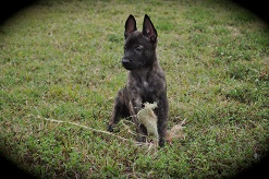 belgian malinois pups for sale