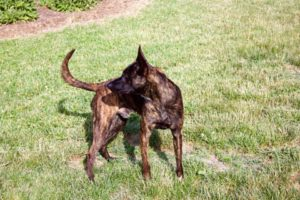 Dutch Shepherd Odin
