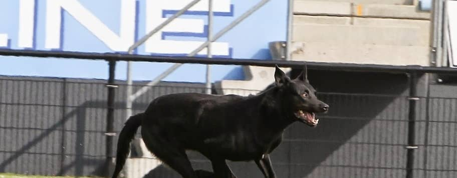 knpv ph1 black belgian malinois