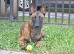 Belgian Malinois female Bika